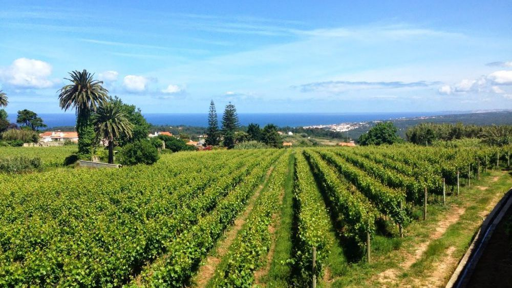 Vineyard with views out over the Atlantic Ocean